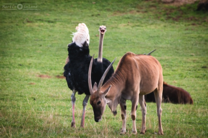 avestruz-y-cornudillo-en-pie
