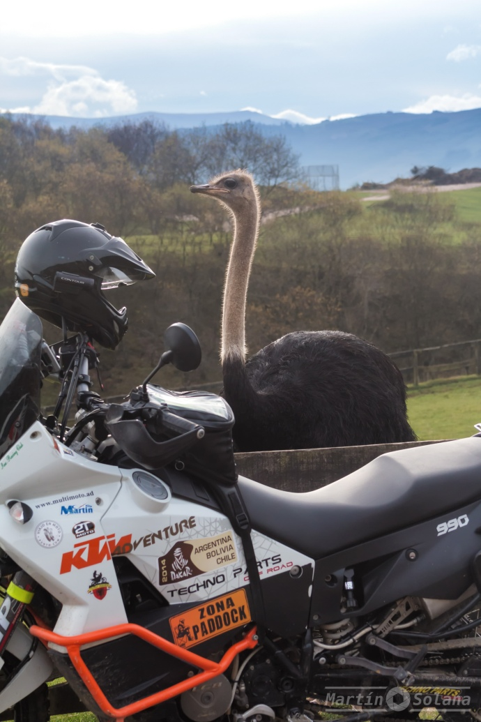 capi-avestruz