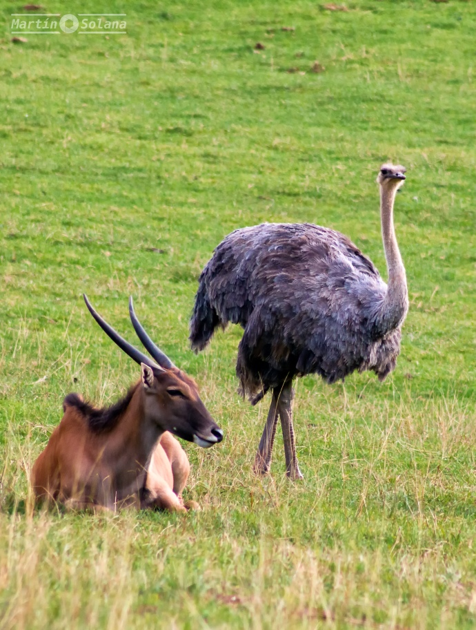 gacelilla-y-avestruz